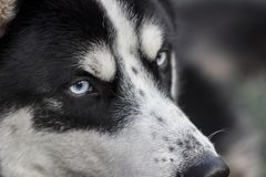 Despite the formidable appearance, the Siberian Husky is a devoted and loyal friend. Sled dog royalty free stock photos