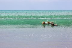 Companion dogs enjoying their time at the beach stock photography
