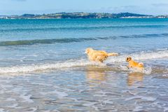 Golden Retriever leading small dog into water royalty free stock image