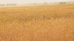 Desplazamiento amarillo del trigo del centeno del campo del paisaje rural metrajes