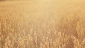 Desplazamiento de oro del campo de trigo del centeno de la producción del grano almacen de video