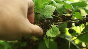 Desplume manual de bayas maduras de la grosella a mano negra Primer La cosecha de la grosella negra es recogida por un granjero b metrajes