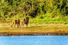 Después de agua potable del Nkaya Pan Watering Hole en Kruger parquee un varón y un título femenino del león nuevamente dentro de imagen de archivo
