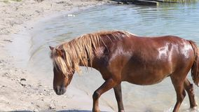 Después de beber, un Brown Mare Drinking Goes From un río en Sunny Day almacen de metraje de vídeo