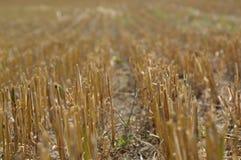 Después de cosechar trigo Fotos de archivo