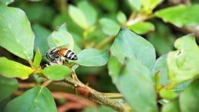 Después de la abeja de la miel del verano que se pregunta en las pequeñas flores en la opinión izquierda del jardín imagenes de archivo