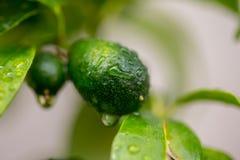 Después de la lluvia, de los kumquals verdes y de las hojas imagen de archivo libre de regalías