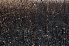 Después de las cenizas quemadas de cañas Imagen de archivo