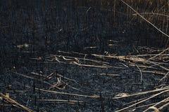 Después de las cenizas quemadas de cañas Fotos de archivo
