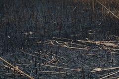 Después de las cenizas quemadas de cañas Imágenes de archivo libres de regalías
