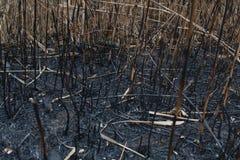 Después de las cenizas quemadas de cañas Imagenes de archivo