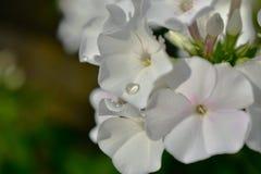 Después de lluvia cae en los pétalos de las flores blancas Imagenes de archivo