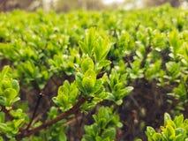 Después de que la lluvia caiga en arbusto verde fresco con las pequeños hojas y web de araña imagenes de archivo
