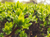 Después de que la lluvia caiga en arbusto verde fresco con las pequeños hojas y web de araña foto de archivo libre de regalías