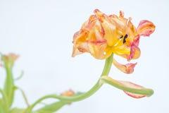 Despu?s de todo actualmente - tulip?n encogido todav?a hermoso del loro imagenes de archivo