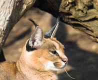 Desrt lynx - Caracal caracal Royalty Free Stock Images