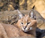 Desrt lynx - Caracal caracal Royalty Free Stock Photography