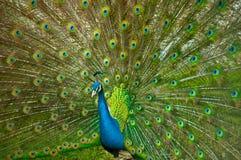 dess stora påfågel som presenterar svansikt Royaltyfria Foton