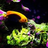 Dessa föredrar fisken att strömförande nära korallrevar Royaltyfria Bilder