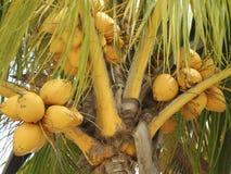 En älskvärd grupp av kokosnötter Arkivbilder