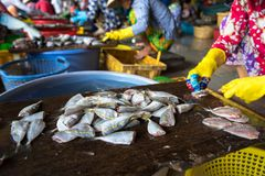 Dessecting yellowstripe scad fish in manual production line in south of Vietnam.  Stock Photography
