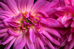 Dessert. Portrait of dahlia flower. Macro photography of nature Royalty Free Stock Photo