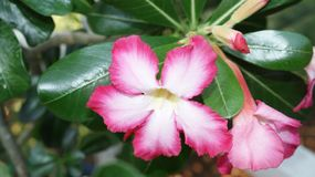 Desert Rose muticolored royalty free stock images