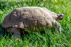 Dessert tortoise on green grass Stock Photo