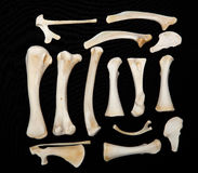Dessicated Animal Bones. From a chicken on a dark background Royalty Free Stock Images
