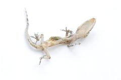Dessicated Reptile Stock Photography