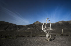 Dessicated Tree Fuerteventura Stock Photography