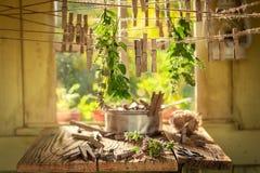 Dessiccateur de fines herbes aromatique avec l'origan dans un jardin d'été photo libre de droits