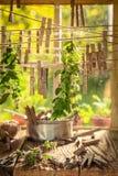 Dessiccateur de fines herbes avec les feuilles en bon état accrochant sur des lignes photographie stock