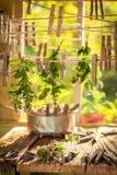 Dessiccateur de fines herbes d'été avec l'origan dans le jardin photographie stock libre de droits