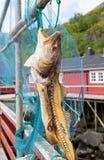 Dessiccateur de morue en Norvège images stock