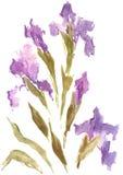 Dessin d'aquarelle d'iris pourpre illustration stock