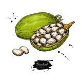 Dessin de superfood de vecteur de baobab Esprit sain organique de croquis de nourriture illustration libre de droits