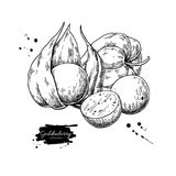 Dessin de vecteur de fruit de Physalis Croquis d'or de baie Illustration gravée par vintage de superfood Images stock