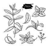 Dessin de vecteur de Stevia Croquis de fines herbes de substitut de sucre d'édulcorant Illustration gravée par vintage de superfo Images libres de droits