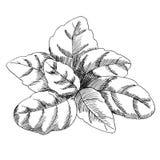 Dessin graphique de vecteur des feuilles de basilic Photographie stock libre de droits