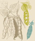 Dessin végétal de vintage de pois Photographie stock libre de droits