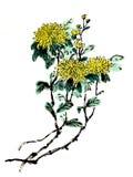 Dessins de style chinois, croquis, fleur de chrysanthème Photographie stock libre de droits