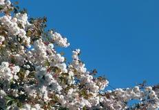 Dessus élevé d'un cerisier avec la fleur blanche pâle fraîche contre un ciel clair bleu lumineux de ressort images libres de droits
