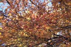 Dessus chauds d'arbre d'Autumn Foliage Images stock