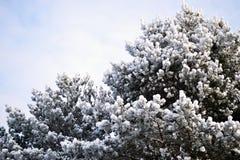 dessus couverts de neige des pins dans l'hinterland russe près de Pskov photographie stock libre de droits