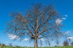 Dessus d'arbre contre le ciel bleu, d?taill? des branches d'arbre dans le jardin ? Londres images stock