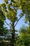 Dessus d'arbre d'été Photos stock