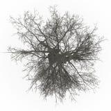 Sans feuilles supérieur d'arbre de cendre illustration stock