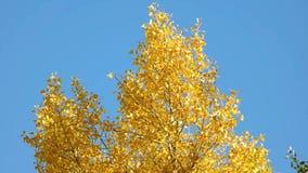 Dessus d'un arbre avec les feuilles jaunes banque de vidéos