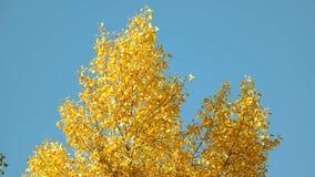 Dessus d'un arbre jaune d'automne banque de vidéos
